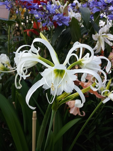 Hymenocallis Festalis - White (Pack 3 Bulbs)