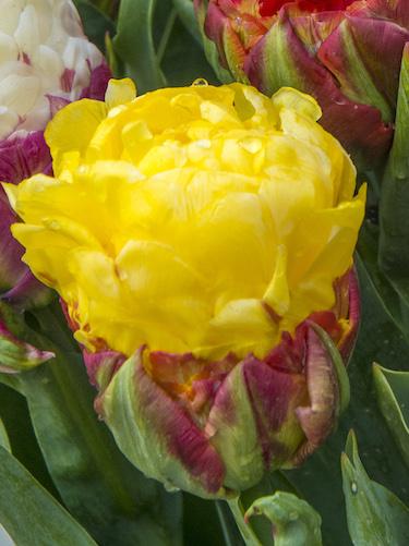 Tulip 'Ice Cream Banana'