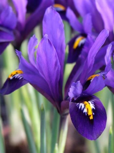 Iris Reticulata 'Blue Hill'
