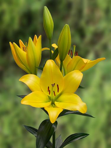 Lily 'Cavalia'