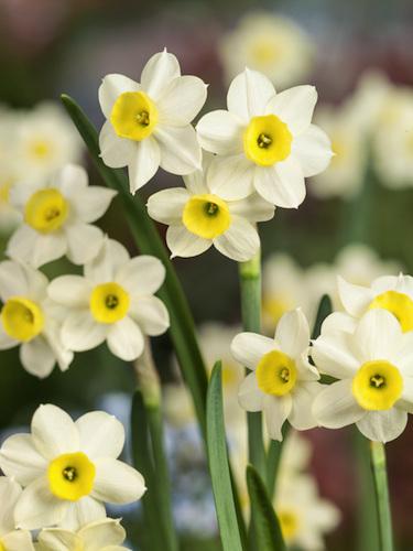 Miniature Narcissus 'Minnow' (Pack of 20 Bulbs)