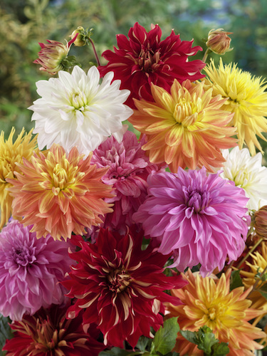Mixed 'Dinnerplate' Dahlias (Pack of 5 Tubers/Bulbs)