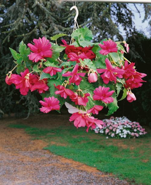 Begonia Pendula Pink (Pack of 5)