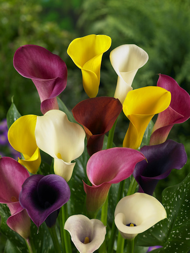 Mixed Zantedeschia (Pack of 5 Bulbs)