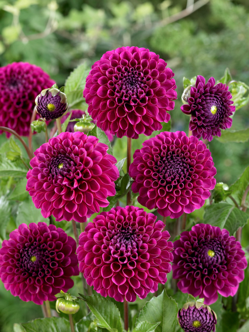 Dahlia 'Lilac Bull' (Pack of 3 Tubers/Bulbs)