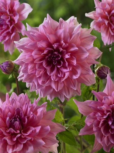 Dahlia 'Otto's Thrill' (Pack of 3 Tubers/Bulbs)