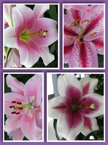 'Perfect Pinks' Lily Collection (Pack of 8 Bulbs)