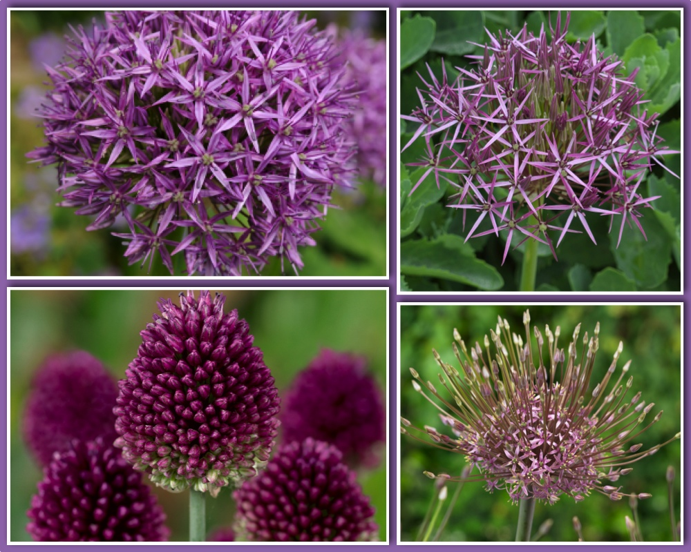 Purple Allium Bulb Collection (Pack of 80 Bulbs)