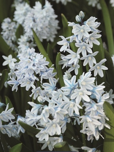 Puschkinia (Russian Snowdrops) (Pack of 50 Bulbs)