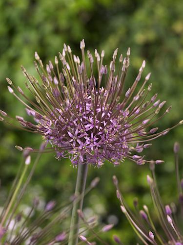 Allium Schubertii (Pack of 3 Bulbs)