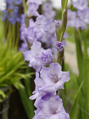 Gladiolus 'Sweet Blue' (Pack of 15)