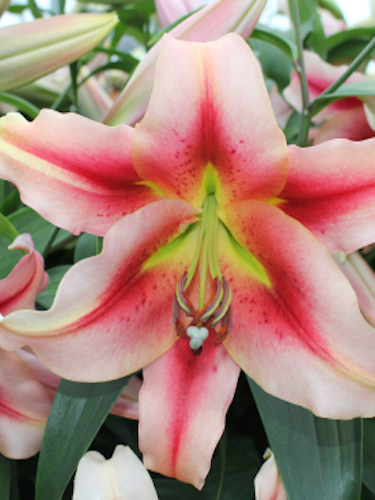 Lily 'Olympic Torch'