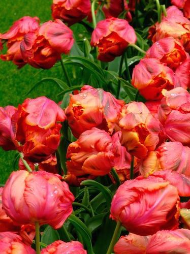 Tulip 'Avignon Parrot'