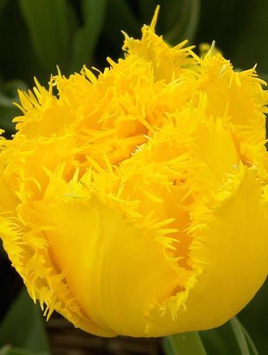 Tulip 'Mon Amour'