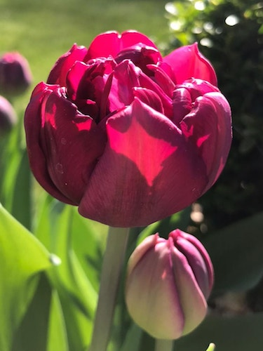 Tulip 'Uncle Tom'