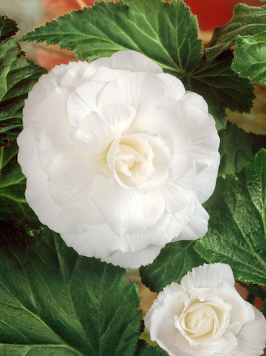 Begonia Double White (Pack of 5)