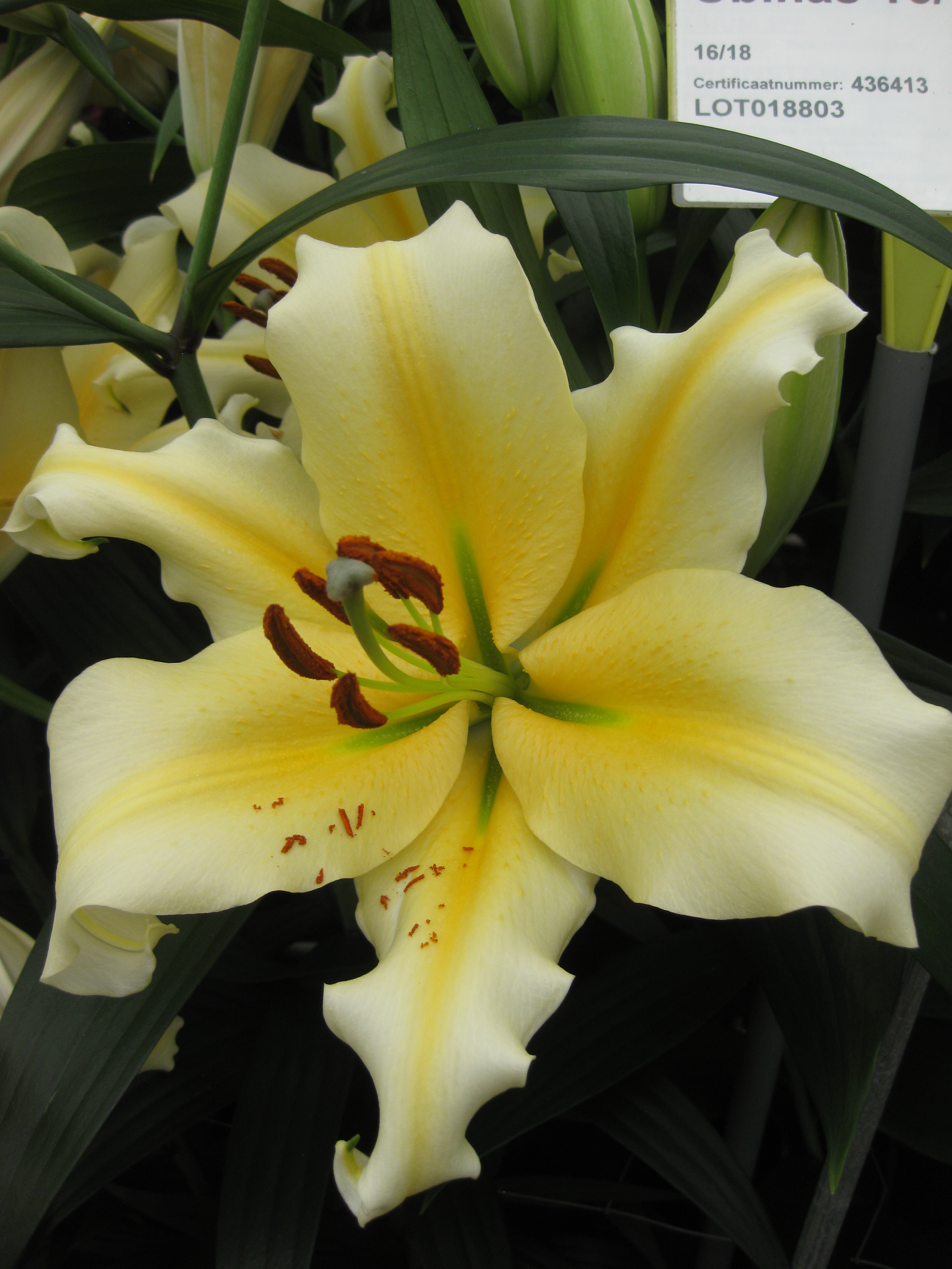 Lily 'Zirconia'