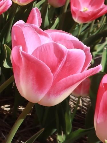 Tulip 'Dynasty'