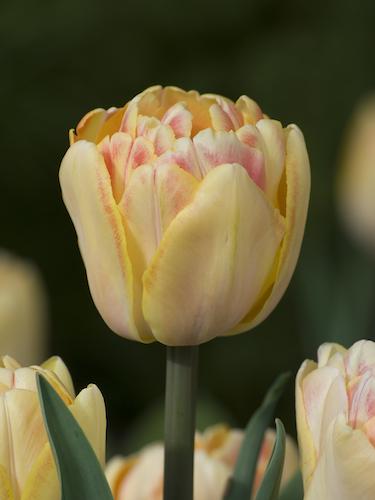 Tulip 'Foxy Foxtrot'