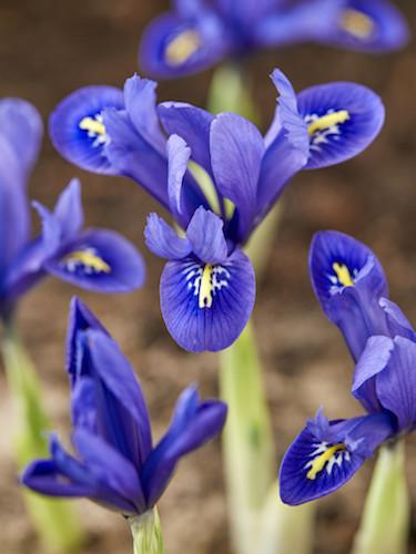 Iris 'Reticulata'