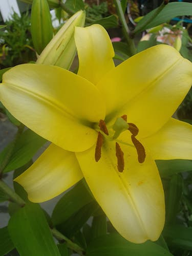 Lily 'Outback'
