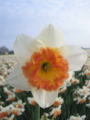 Narcissus 'Precocious' (Pack of 15 Bulbs)