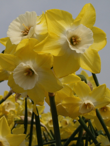 Narcissus 'Regeneration' (Pack of 20 Bulbs)