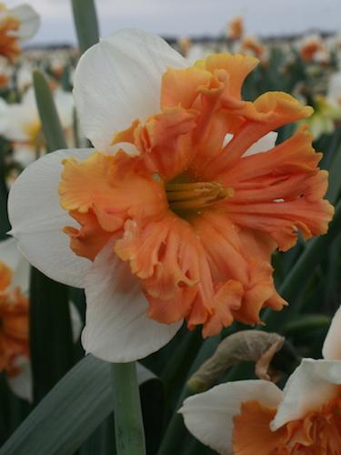 Narcissus 'Shrike'
