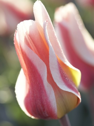 Tulip 'The First'