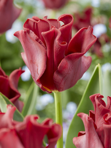 Tulip 'Red Dress'