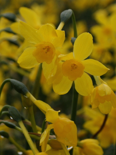 Narcissus 'Twinkling Yellow' (Pack of 20 Bulbs)