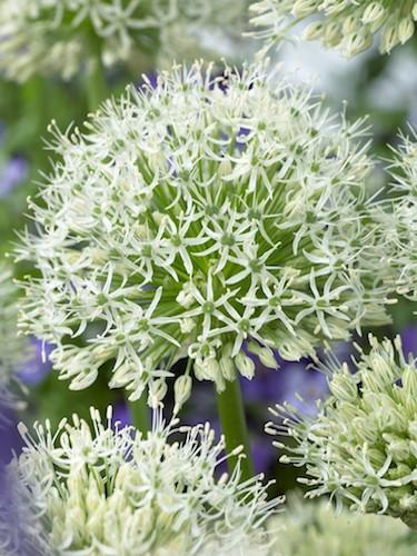 Allium White Giant (Pack of 3 Bulbs)