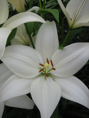 Lily 'Bright Diamond'