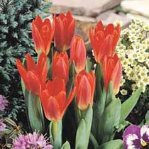 Mini Tulip Scarlet Baby (Pack of 20 Bulbs)