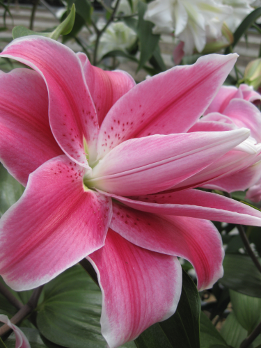 Lily 'Sweet Rosy'