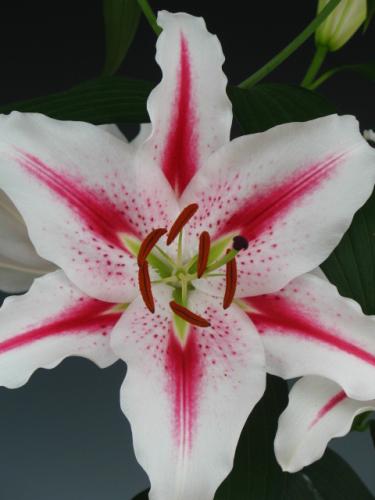 Lily 'Hot Spot'