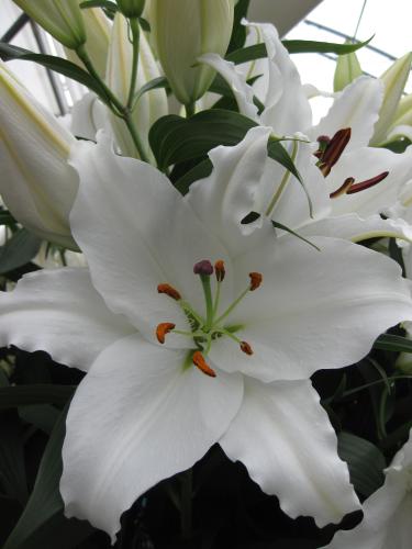 Lily 'Helvetia'