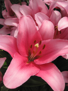Lily 'Brindisi'