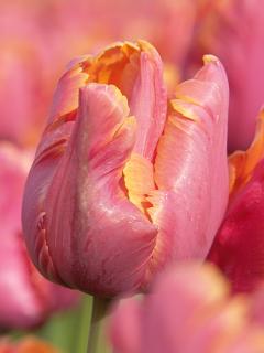 Tulip 'Amazing Parrot'