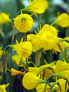 Narcissus 'Oxford Gold®'