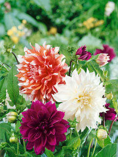 Bahama Sunset Mixed Dahlias (Pack of 9 )