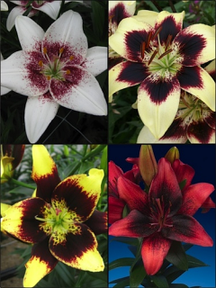 Dark Nights Lily Collection (Pack of 12 Bulbs)