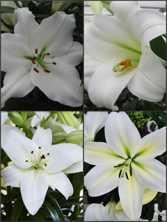 'Dazzling Whites' Lily Collection (Pack of 12 Bulbs)