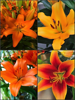 'Flaming Oranges' Lily Collection (Pack of 8 Bulbs)