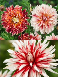 Caribbean Mixed Dahlias (Pack of 9)