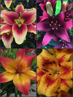 'Hollywood' Lily Collection (Pack of 12 Bulbs)