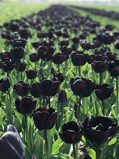 Tulip 'Night Wish'