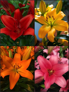 LA Rainbow Lily Collection (Pack of 12 Bulbs)