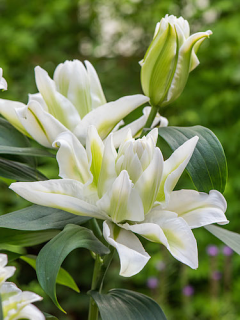 Lily 'Humber'