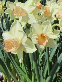 Narcissus 'Modulation'
